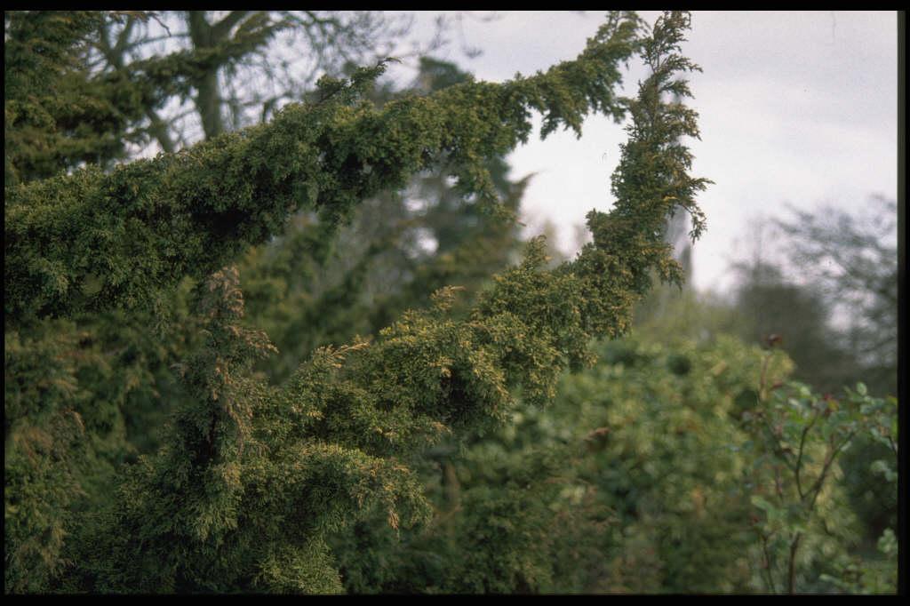 Chinese juniper 'Plumosa Aurea'