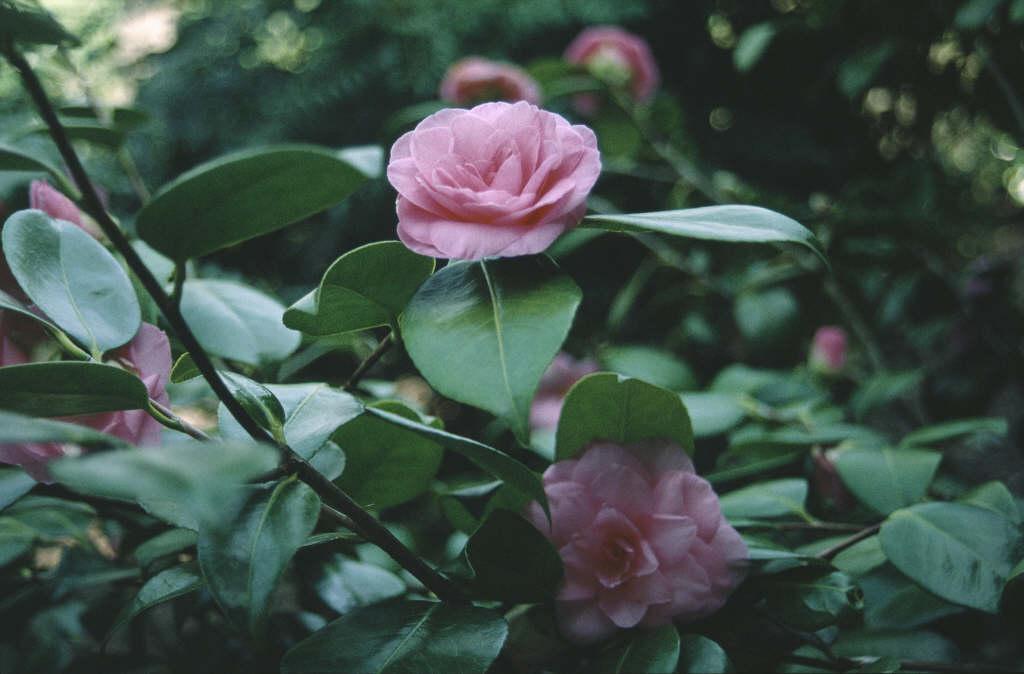 camellia 'Mathotiana Rosea'