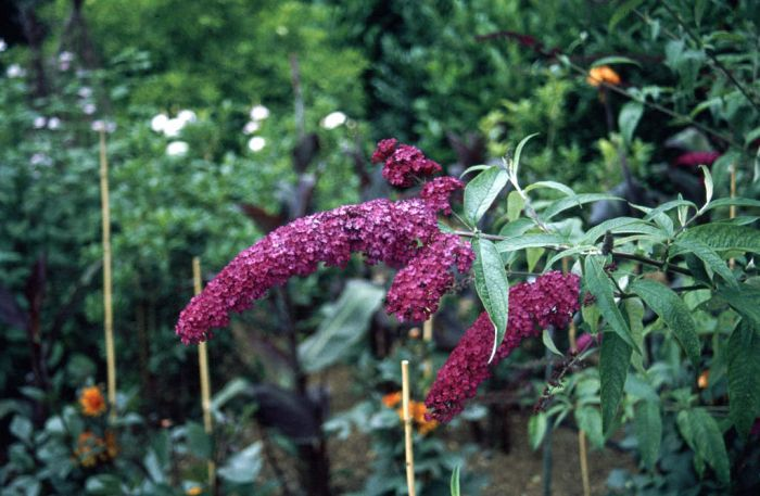 Buddleja Davidii Royal Red Butterfly Bush Royal Red