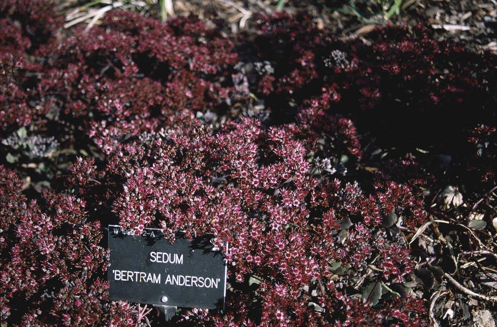 stonecrop 'Bertram Anderson'