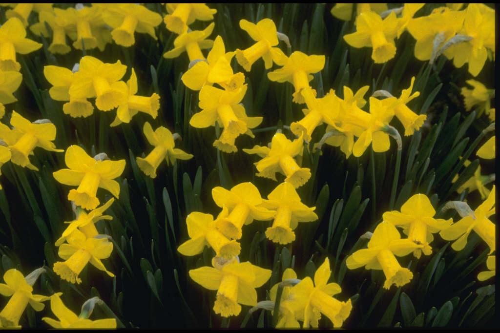 daffodil 'Tyrone Gold'