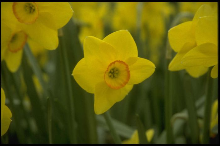 daffodil 'Triple Crown'