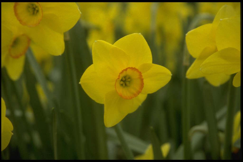 daffodil 'Triple Crown'