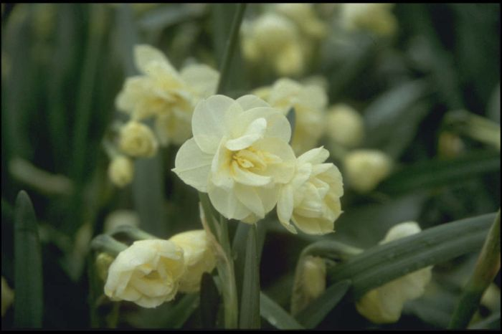 daffodil 'Sir Winston Churchill'