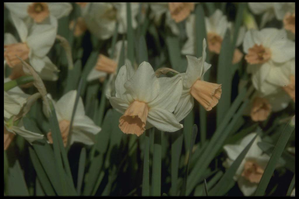 daffodil 'Reggae'