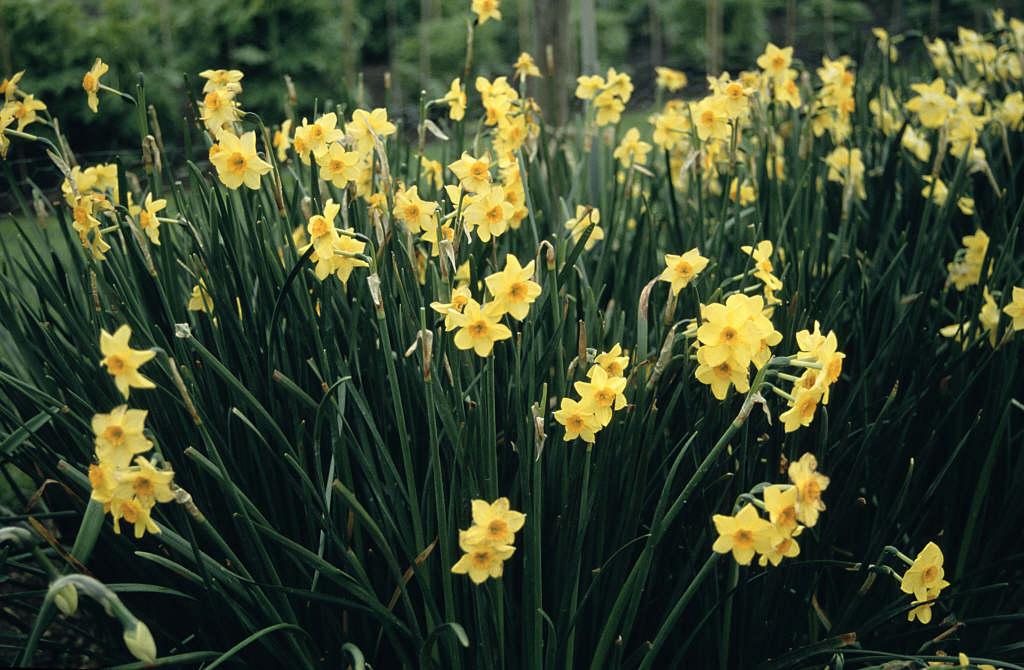 daffodil 'Falconet'