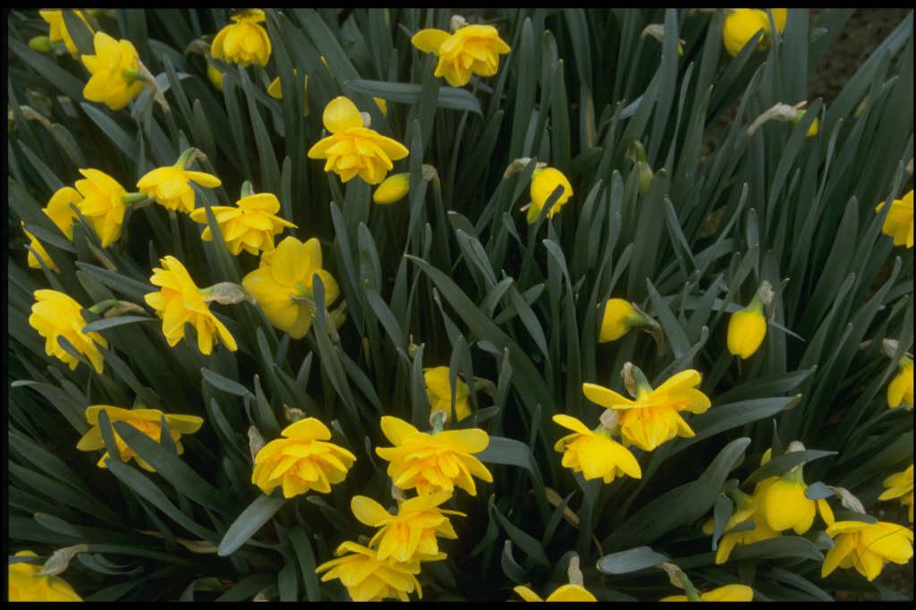 daffodil 'Crackington'