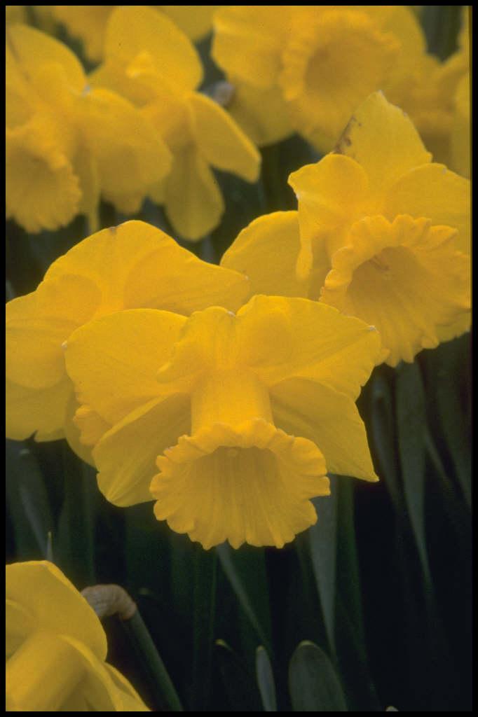 daffodil 'Barnum'