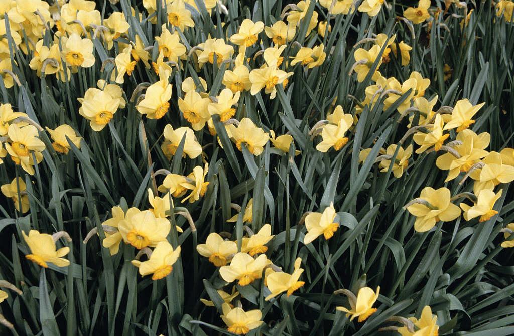 daffodil 'Badbury Rings'