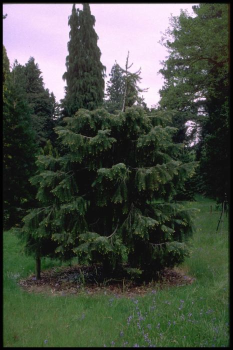 Brewer's weeping spruce