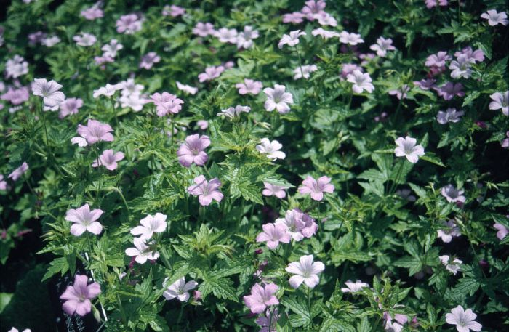geranium 'A.T. Johnson'