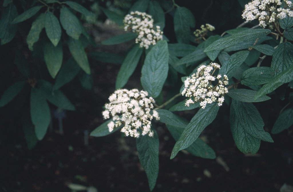 wrinkled viburnum