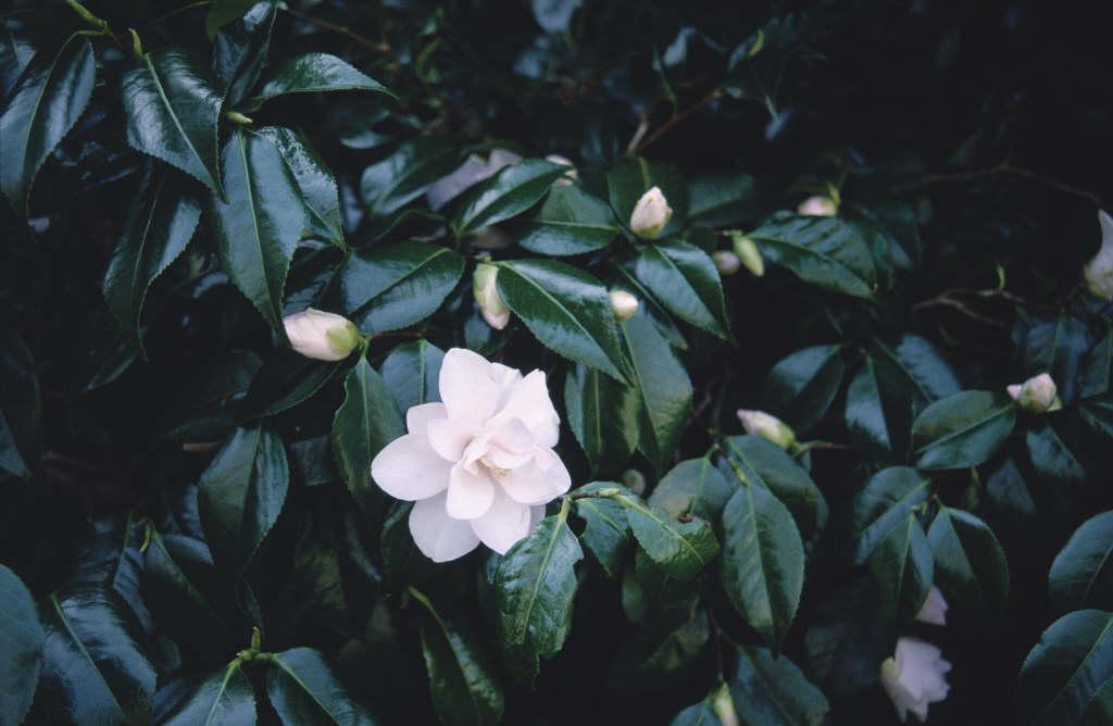 camellia 'Hagoromo'