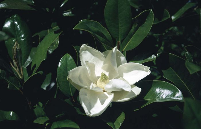 evergreen magnolia 'Goliath'