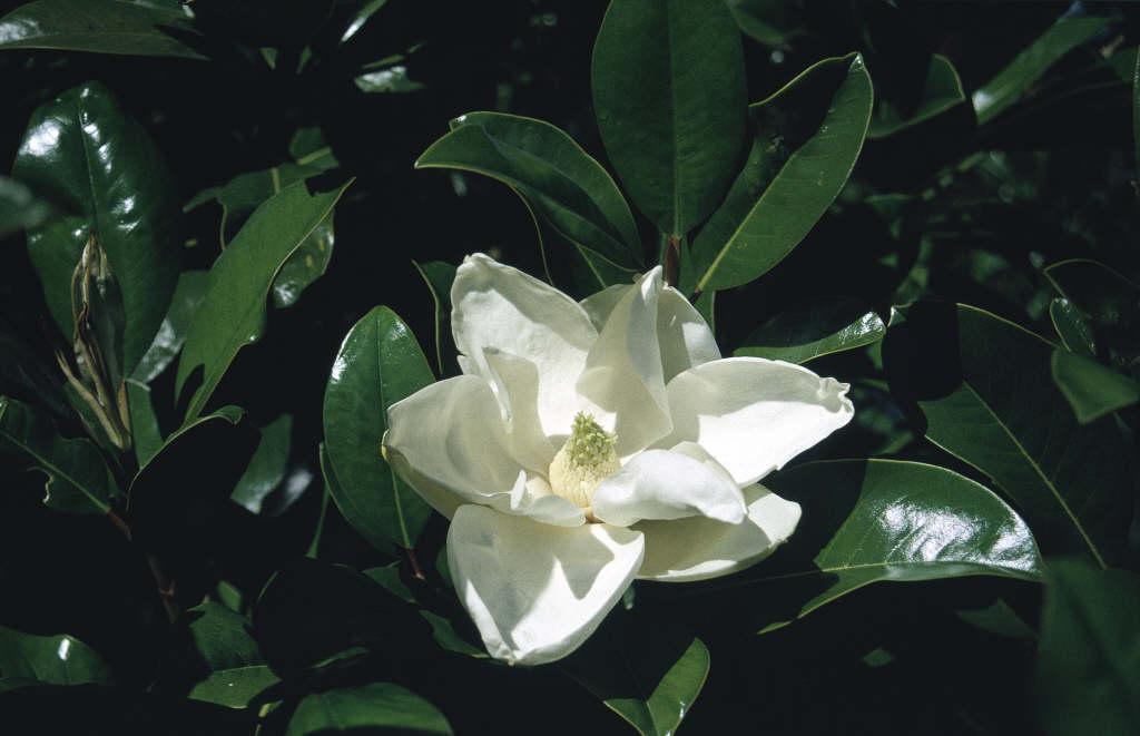 magnolia 'Goliath'
