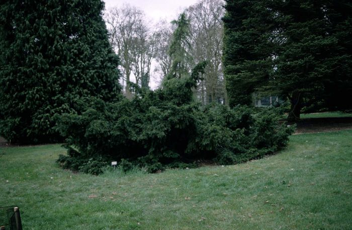 common yew 'Repandens'