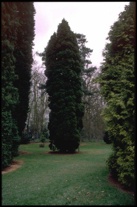 Lawson's cypress 'Fletcheri'