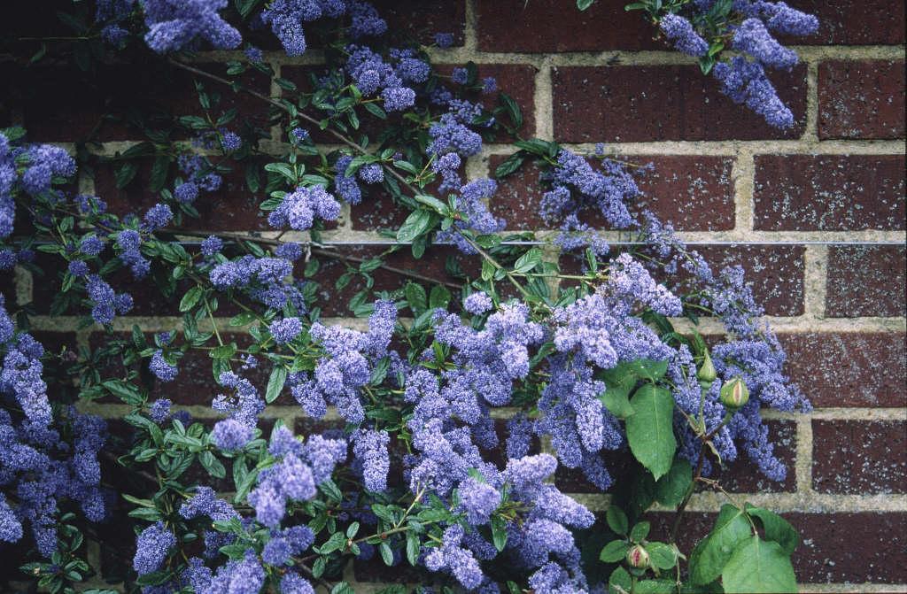 Californian lilac 'Cascade'