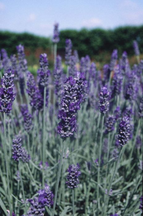 lavender 'Richard Gray'