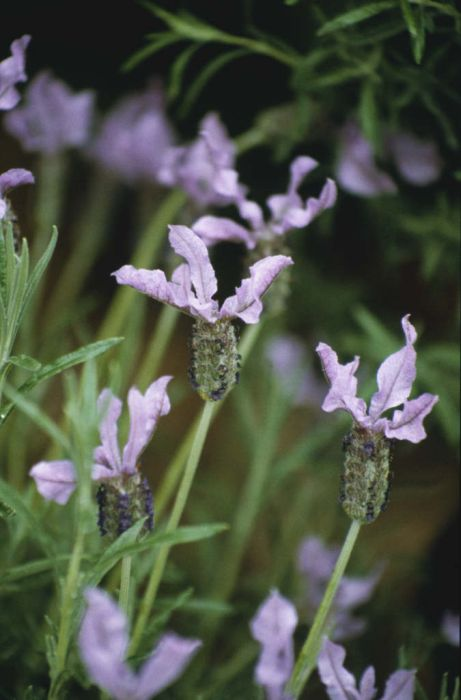 French lavender 'Willow Vale'