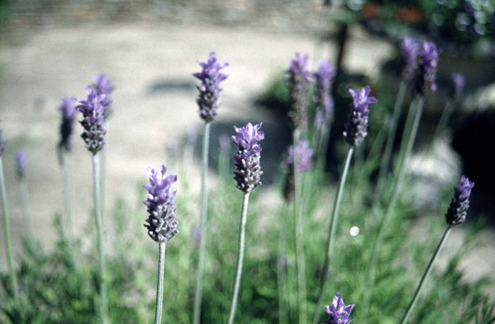 lavender 'Royal Crown'
