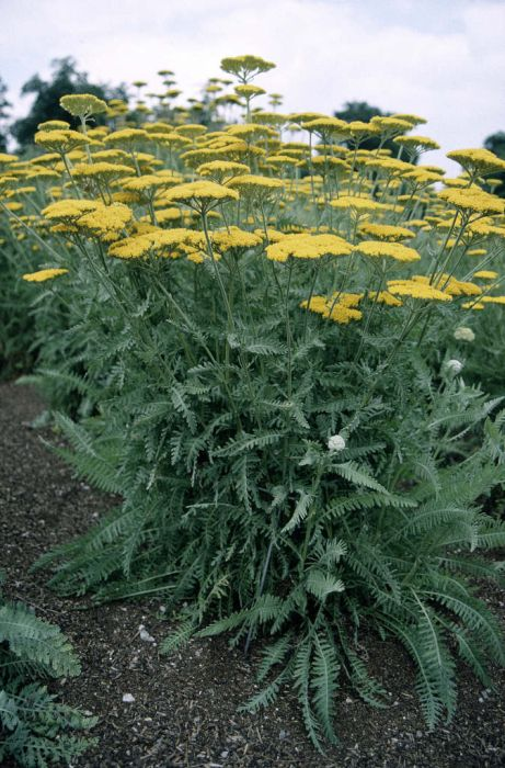 yarrow 'Coronation Gold'