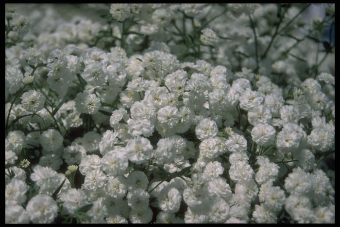 sneezewort The Pearl Group