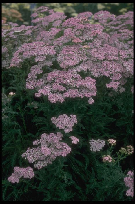 yarrow 'Christine's Pink'