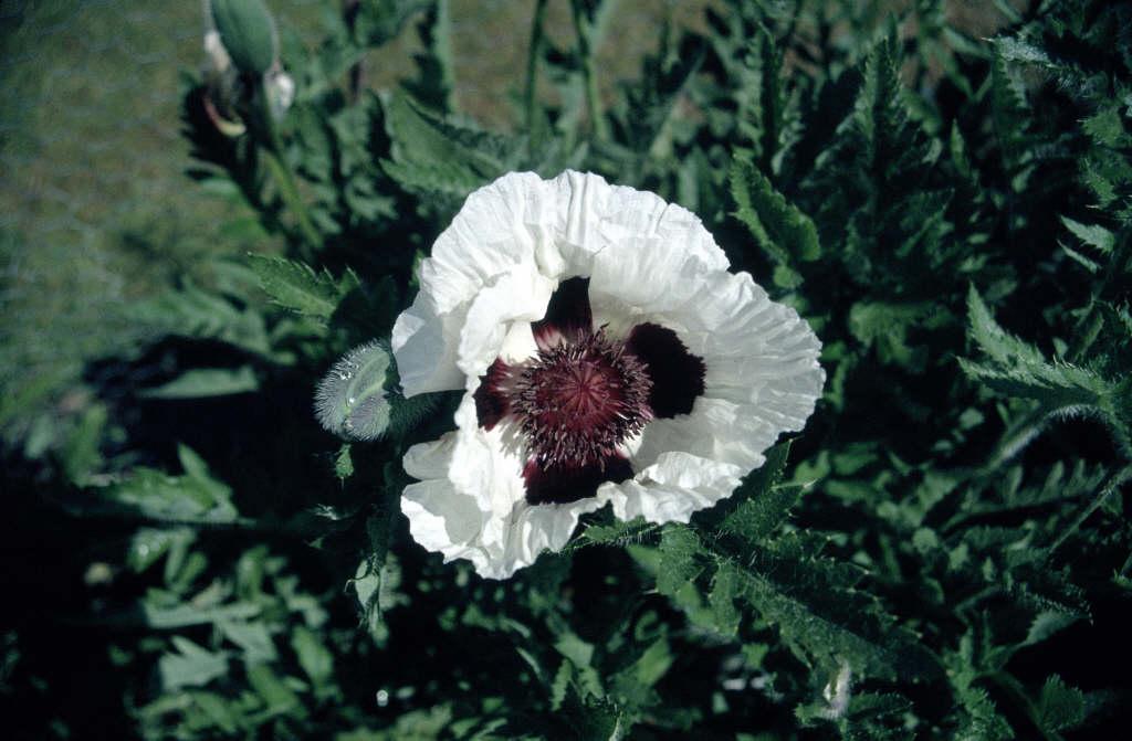 oriental poppy 'Black and White'