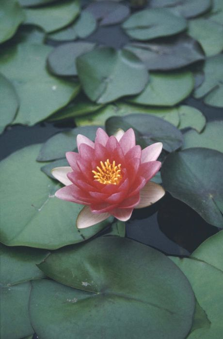 waterlily 'Attraction'