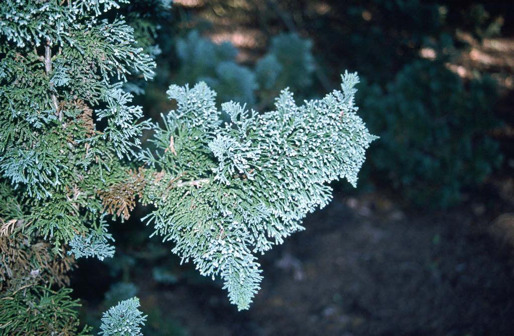 Lawson's cypress 'Wisselii'