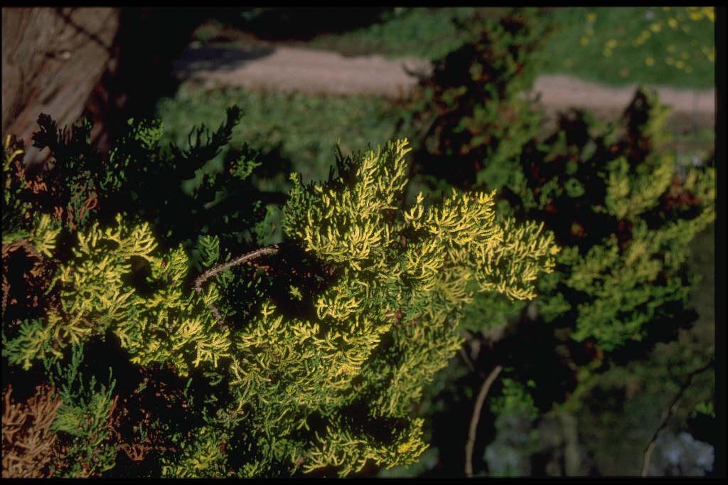 Hinoki cypress 'Tetragona Aurea'
