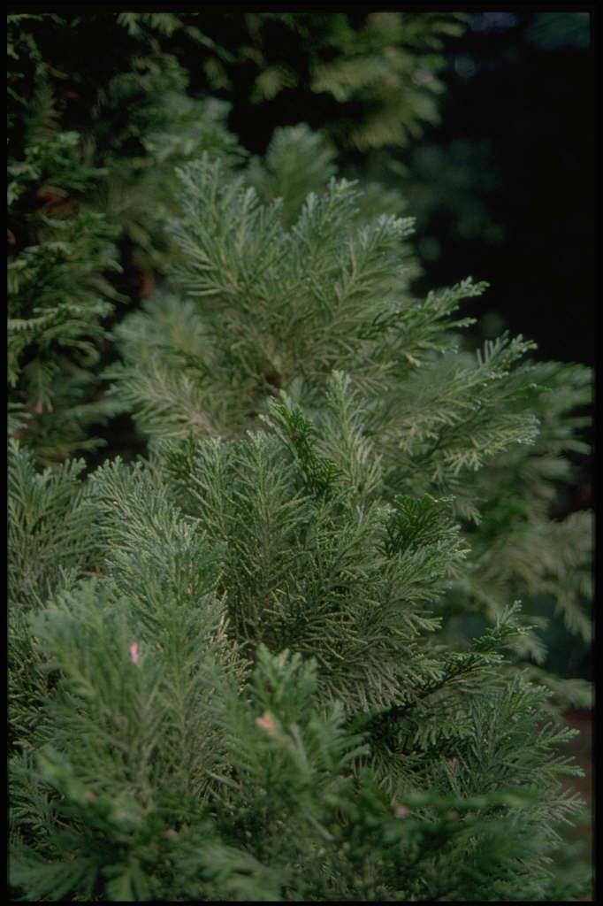 Lawson's cypress 'Kilmacurragh'