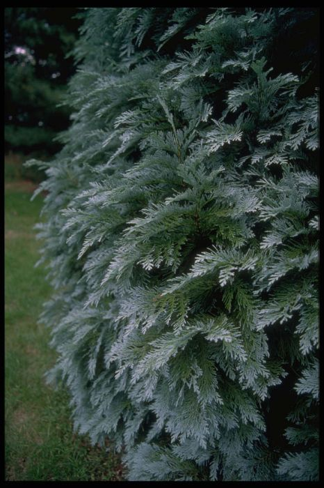Lawson's cypress 'Pembury Blue'