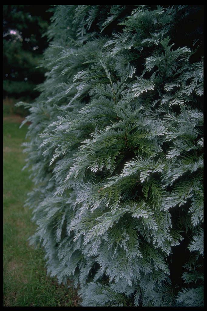 Lawson's cypress 'Pembury Blue'