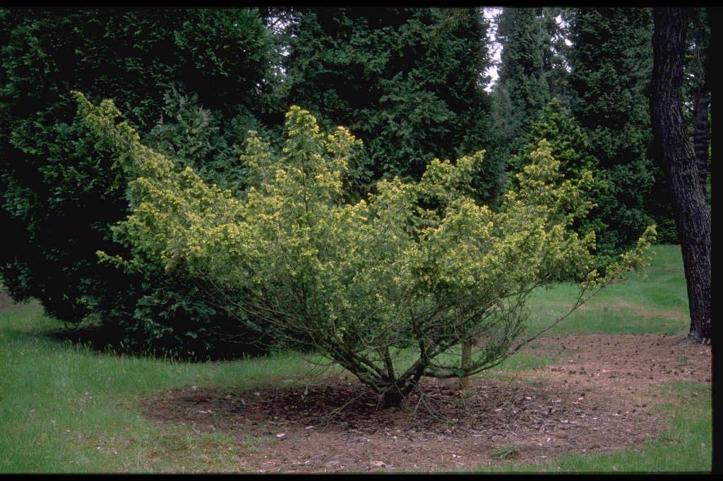 golden Dovaston's yew