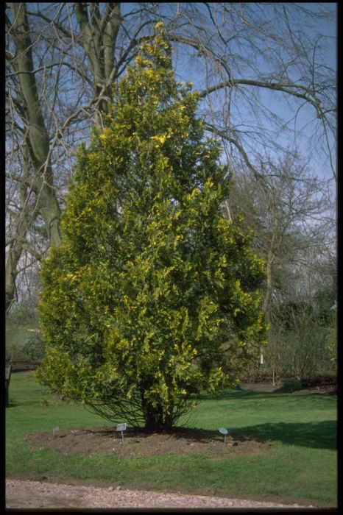 western red cedar 'Stoneham Gold'