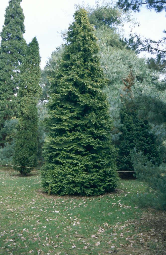 Lawson's cypress 'Golden Wonder'