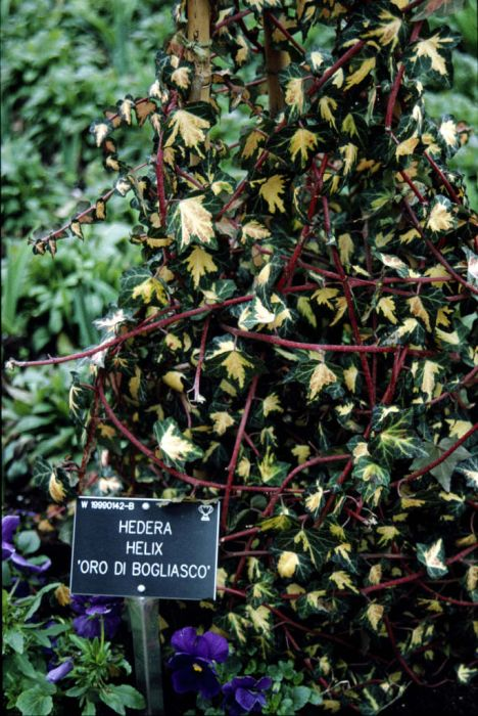 ivy 'Oro di Bogliasco'