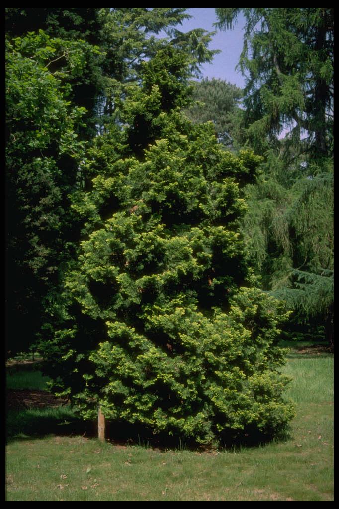 Hinoki cypress 'Nana Aurea'