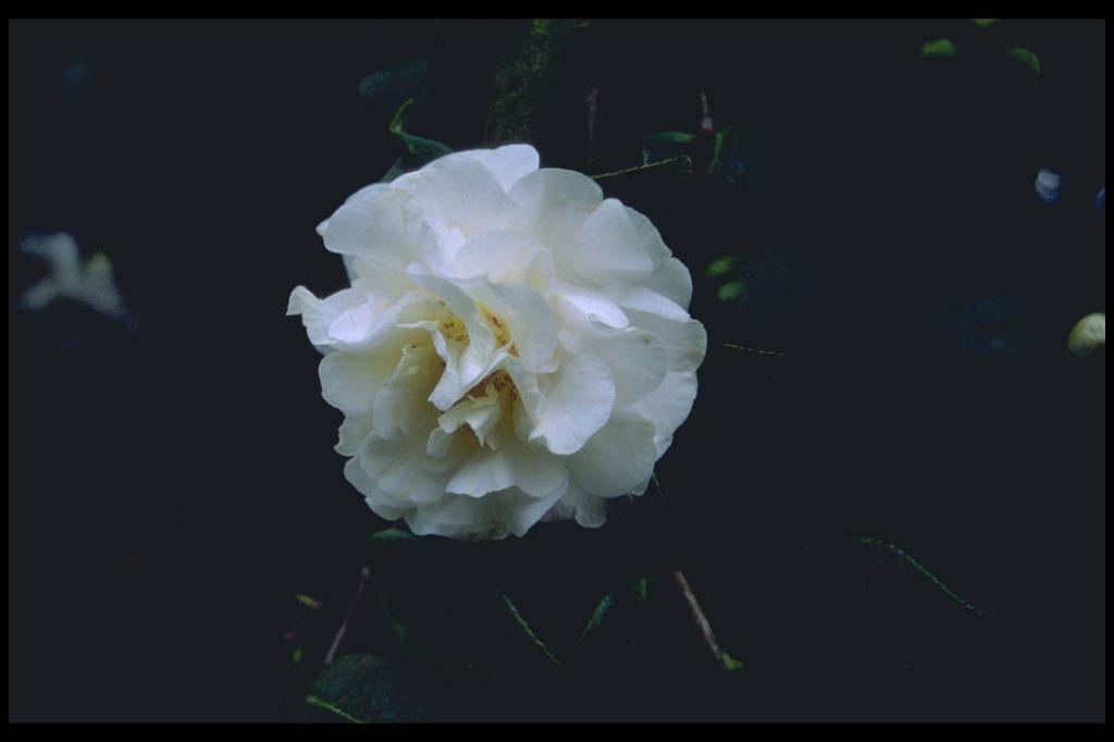 camellia 'E.T.R. Carlyon'