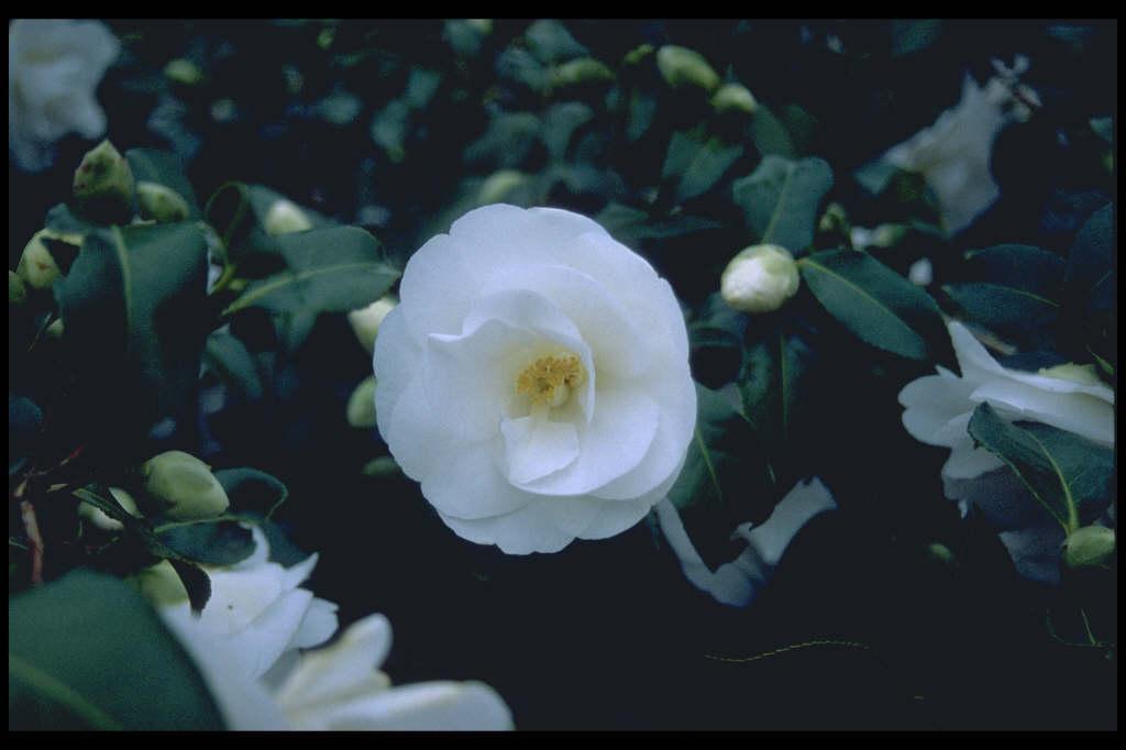 camellia 'China Clay'