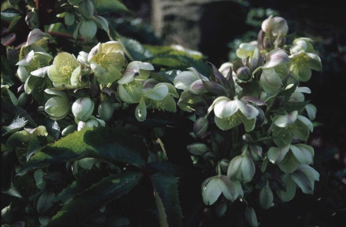 hellebore Blackthorn Group
