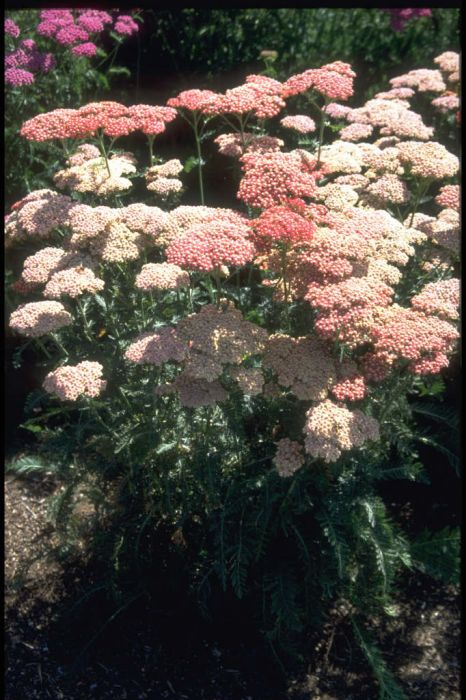 yarrow 'Belle Epoque'