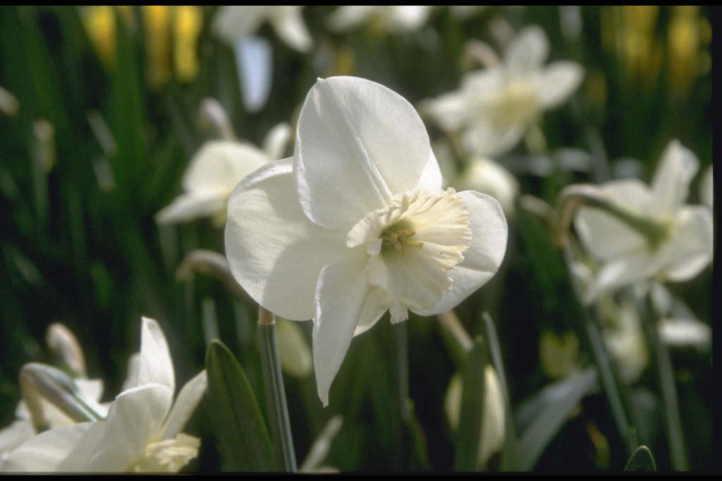daffodil 'Verona'
