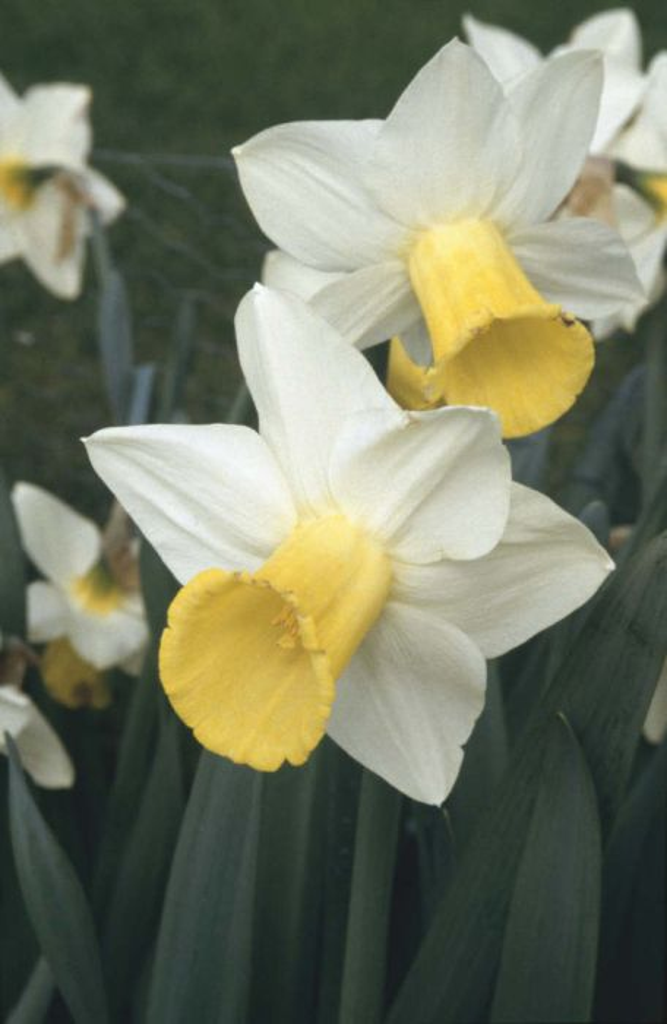 daffodil 'Bravoure'