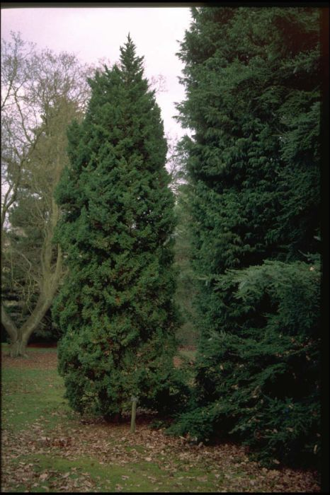 Juniperus chinensis 39 obelisk 39 chinese juniper 39 obelisk for Small garden trees rhs