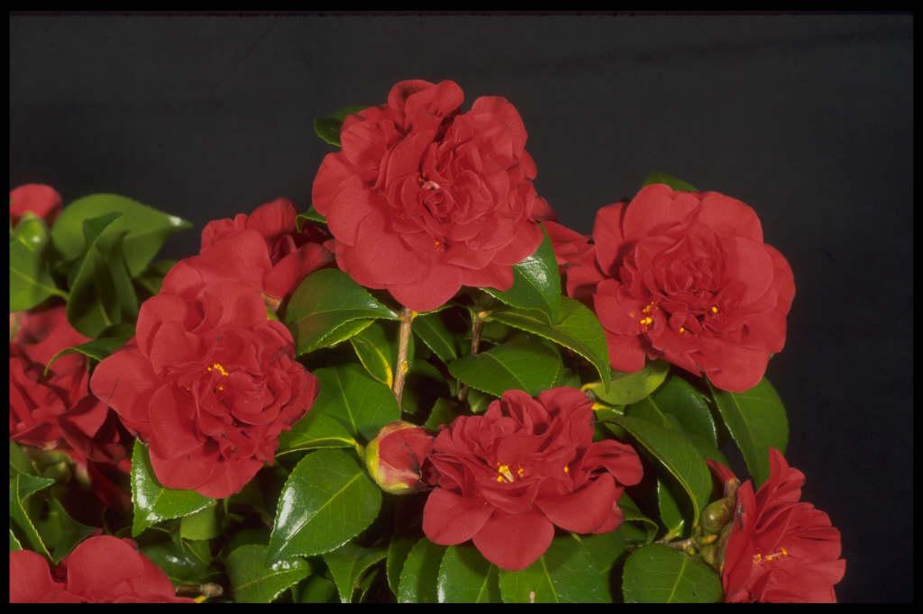 camellia 'Tom Knudsen'