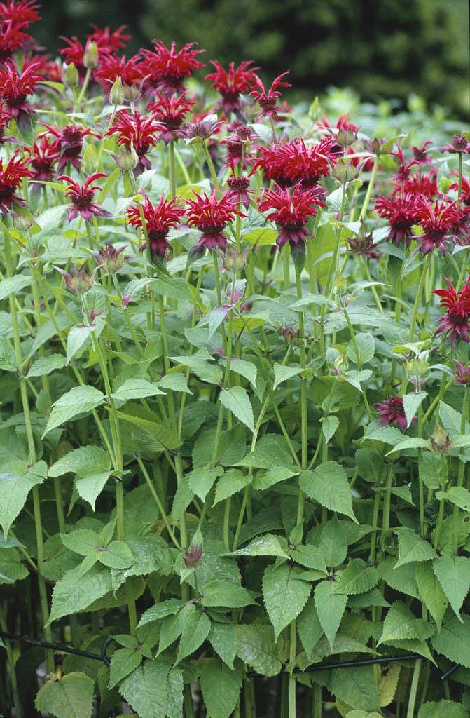 bergamot 'Gardenview Scarlet'