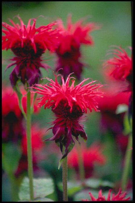 bergamot 'Cambridge Scarlet'